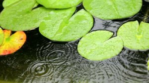 stock-footage-rain-falling-in-pool-with-water-lilies-leaves